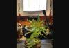 Jesusa y su planta de mariguana