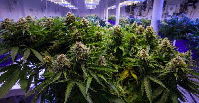 Senado y el uso lúdico de la marihuana